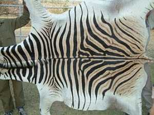 We Require All The Export Permits Needed To Have Zebra Skin Enter Your Country Enters Countries Through A Fish And