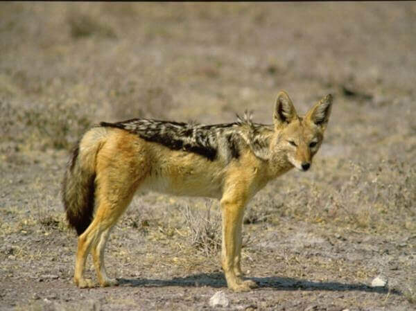 African black back jackal