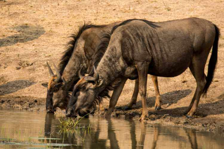 Blue Wildebeest drinking water