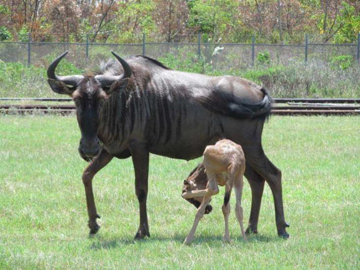 Blue wldebeest with calf