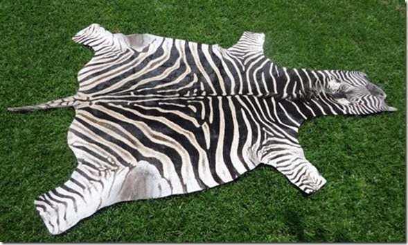 Burchell Zebra hide