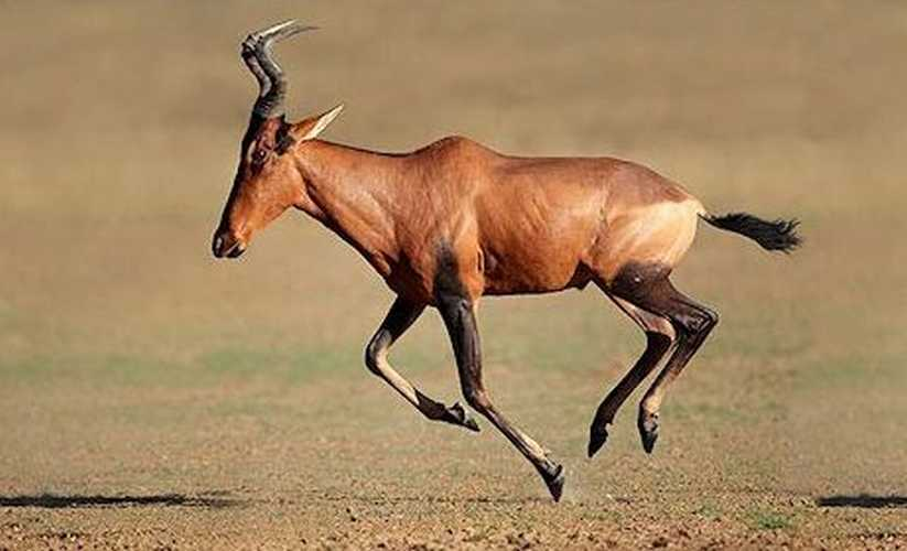 Red Hartebeest male