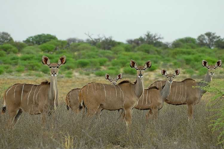 African Kudu - female