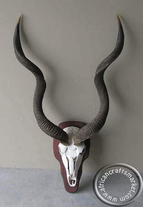 African Kudu horn skull mounted on shield