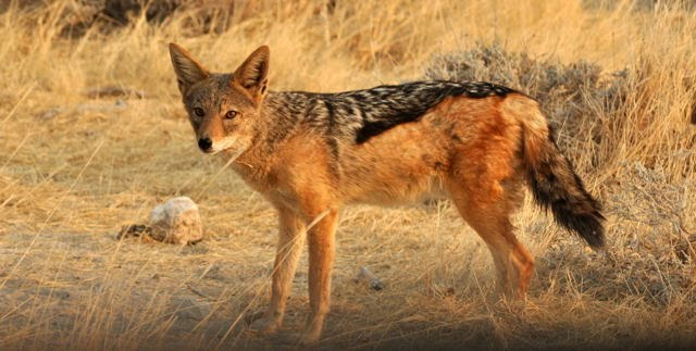 african black backed jackal